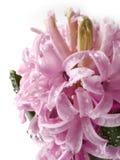 hyacint bloem met dalingen die op wit worden geïsoleerdg Stock Afbeelding