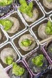 Hyacint dans le pot Images stock