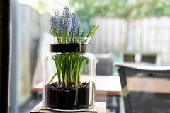 Hyacint de raisin dans un vase en verre photo libre de droits