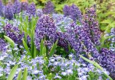 Hyacint in de tuin stock afbeelding