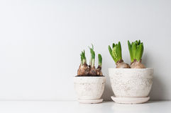 Hyacint en narcissenspruiten Royalty-vrije Stock Foto's
