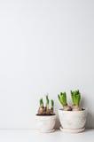 Hyacint en narcissenspruiten Stock Afbeeldingen