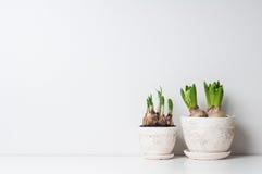 Hyacint en narcissenspruiten Stock Foto's