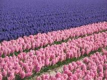 Hyacint field Stock Photography