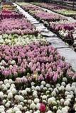 Hyacint Het gebied van de kleurrijke lente bloeit hyacinteninstallaties in potten met bollen in serre op zonlicht voor verkoop Bl Royalty-vrije Stock Afbeelding