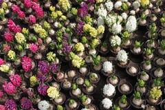 Hyacint Het gebied van de kleurrijke lente bloeit hyacinteninstallaties in potten met bollen in serre op zonlicht voor verkoop Bl Royalty-vrije Stock Foto