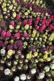 Hyacint Het gebied van de kleurrijke lente bloeit hyacinteninstallaties in potten met bollen in serre op zonlicht voor verkoop Bl Stock Fotografie