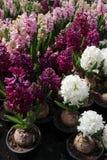 Hyacint Het gebied van de kleurrijke lente bloeit hyacinteninstallaties in potten met bollen in serre op zonlicht voor verkoop Bl Stock Foto