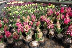 Hyacint Het gebied van de kleurrijke lente bloeit hyacinteninstallaties in potten met bollen in serre op zonlicht voor verkoop Bl Royalty-vrije Stock Afbeeldingen