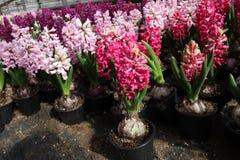 Hyacint Het gebied van de kleurrijke lente bloeit hyacinteninstallaties in potten met bollen in serre op zonlicht voor verkoop Bl Royalty-vrije Stock Foto's
