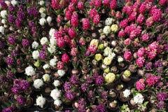 Hyacint Het gebied van de kleurrijke lente bloeit hyacinteninstallaties in potten met bollen in serre op zonlicht voor verkoop Bl Royalty-vrije Stock Fotografie