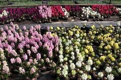 Hyacint Het gebied van de kleurrijke lente bloeit hyacinteninstallaties in potten met bollen in serre op zonlicht voor verkoop Bl Stock Foto's
