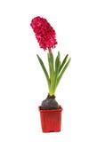 Hyacint i en kruka royaltyfria bilder