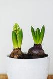 Hyacint i keramiska krukor på en vit vägg Arkivfoton