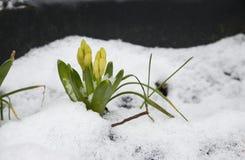 Hyacint i snö som redan kommer upp Fotografering för Bildbyråer
