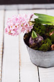 Hyacint, mos en bolbloemen Stock Foto's