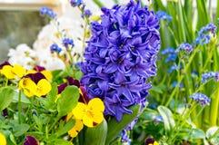 Hyacint och pensé Royaltyfri Fotografi