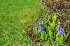 Hyacint på gräsmatta Royaltyfri Fotografi