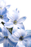 Hyacint på vit bakgrund Arkivbilder