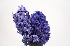 Hyacint in studio royalty-vrije stock foto's