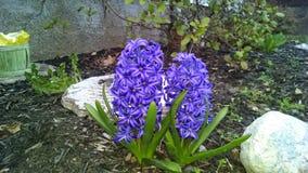 Hyacint in Tuin Koninklijke Purple Stock Foto's