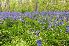 Hyacint Wilde, non-scripta Hyacinthoides стоковая фотография rf