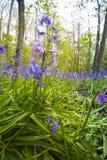 Hyacint Wilde, non-scripta Hyacinthoides стоковые изображения rf