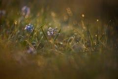 Hyacintblauw Stock Foto's