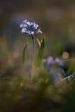 Hyacintblauw Stock Afbeeldingen