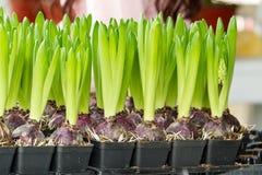Hyacintbloem met bollen in pot Royalty-vrije Stock Foto's