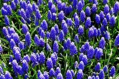 Hyacintbloemen Stock Foto's