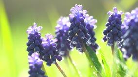 Hyacintbloemen stock footage