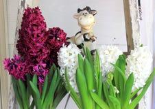 Hyacintbloemen in volledige bloei Stock Foto's