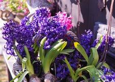 Hyacintblom royaltyfria bilder