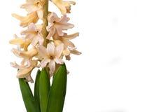 Hyacintblomma Royaltyfri Bild