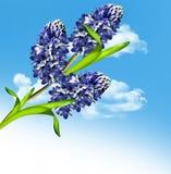 Hyacintblommor Arkivfoto