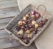 Hyacintbollen in een mand royalty-vrije stock foto's