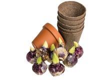 Hyacintbollen met potten aan installatie Royalty-vrije Stock Foto's