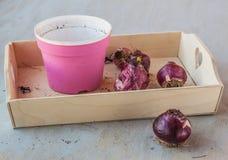 Hyacintbollen na het eind van de seizoen en bloempotten Royalty-vrije Stock Afbeeldingen
