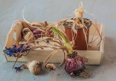 Hyacintbollen na het eind van de seizoen en bloempotten Royalty-vrije Stock Foto