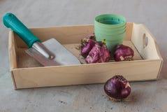 Hyacintbollen na het eind van de seizoen en bloempotten Royalty-vrije Stock Foto's