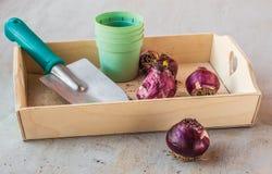 Hyacintbollen na het eind van het seizoen en de tuinduw Royalty-vrije Stock Foto's