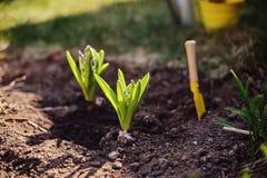 Hyacintbollen worden geplant om te tuinieren bed in de lente zonnige dag die royalty-vrije stock foto's