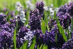 Hyacinten Stock Foto