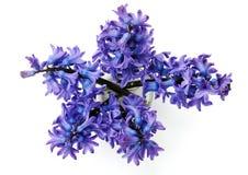 Hyacinten Royalty-vrije Stock Foto