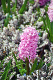 Hyacinten Royalty-vrije Stock Foto's