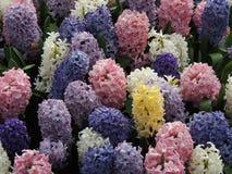 Hyacinten Stock Fotografie