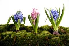 Hyacinten royalty-vrije stock fotografie