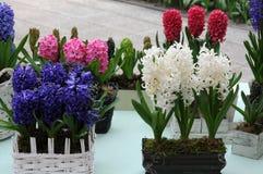hyacinten Royalty-vrije Stock Afbeeldingen
