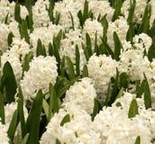 Hyacinten stock afbeeldingen